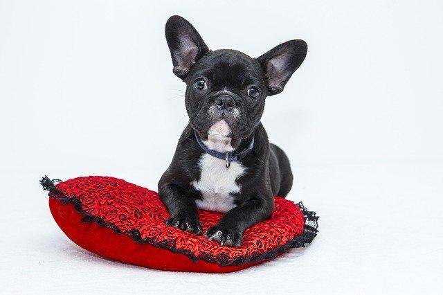 bulldog francuski