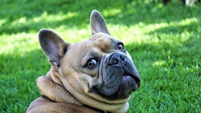 tresura bulldoga